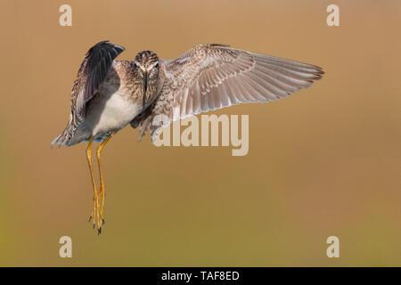 Wood Sandpiper (Tringa glareola), adult in flight, Campania, Italy - Stock Photo