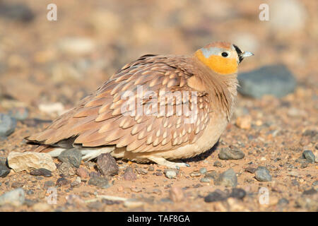 Crowned Sandgrouse (Pterocles coronatus), adult male sitting on the ground in a stony desert, Draâ-Tafilalet, Morocco - Stock Photo