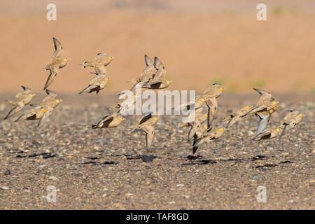 Spotted Sandgrouse (Pterocles senegallus), a flock in flight in the desert Draâ-Tafilalet Morocco - Stock Photo