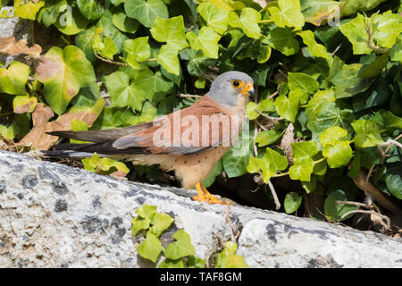 Lesser Kestrel (Falco naumanni), adult male standing on a rock in Matera - Stock Photo