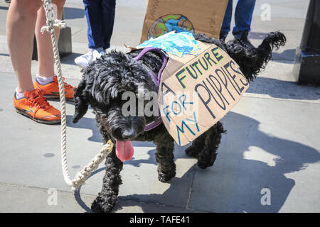 Westminster, London, UK - 24th May 2019. A canine protester. Thousands of young people, some with their parents, once again take to the streets of Westminster to protest against the impact of climate change and environmental problems, as well as inactivity of governments. Protest sites include Parliament Square, Whitehall and Trafalgar Square in London, and many other cities in the UK and globally. Credit: Imageplotter/Alamy Live News - Stock Photo