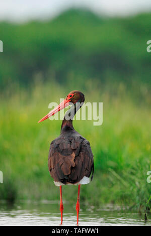 Black stork (Ciconia nigra) adult in a pond - Stock Photo