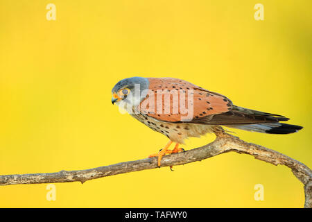 Common kestrel (Falco tinnunculus) male on a branch - Stock Photo