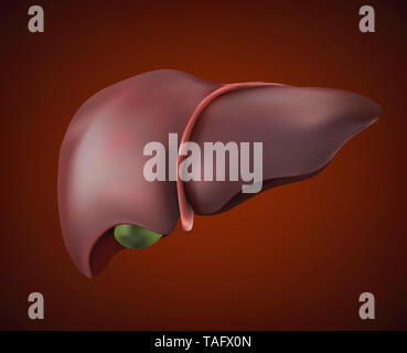 Human liver image is realistic, healthy and complete. - Stock Photo