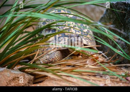 Leopard tortoise (Stigmochelys pardalis) among the vegetation, BioParc, Doue-la-Fontaine, Pays de la Loire, France - Stock Photo