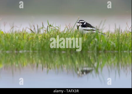 African Pied Wagtail (Motacilla aguimp) at the edge of water, KwaZulu-Natal, South Africa - Stock Photo