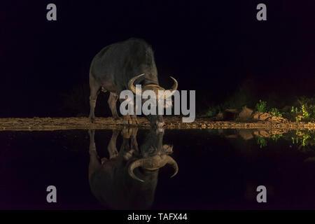 African Buffalo (Syncerus caffer) drinking at the water's edge at night, KwaZulu-Natal, France - Stock Photo
