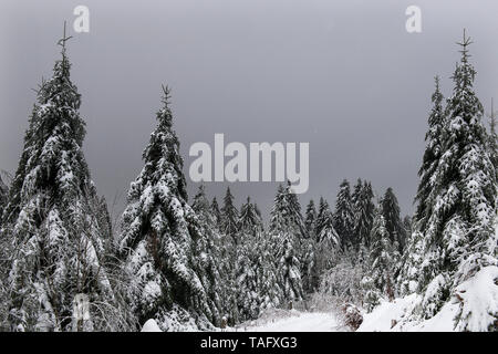 Spruce (Picea abies) in winter and dead tree for Woodpeckers, Black Forest National Park, Germany - Stock Photo