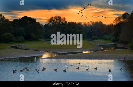 Migration of wild geese (Anser anser), Sauer Delta Nature Reserve, Rhine River, Munchhausen, Alsace, France - Stock Photo