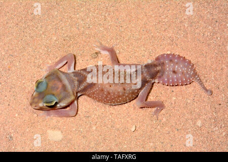 Smooth knob-tailed gecko (Nephrurus levis), Coral Bay, WA, Australia - Stock Photo
