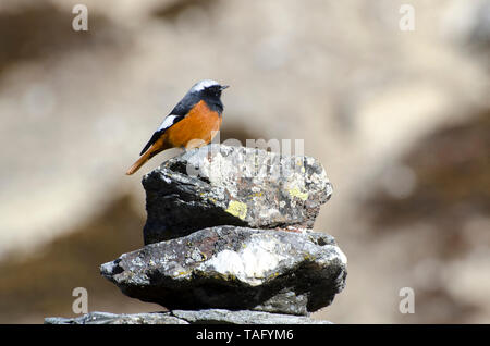 White-winged Redstart (Phoenicurus erythrogastrus) on a cairn at the edge of a hiking trail in the Himalayas, Nepal - Stock Photo
