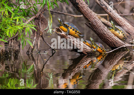 Florida Redbelly Turtle (Pseudemys nelsoni) in the Everglades Swamp, Florida, USA - Stock Photo