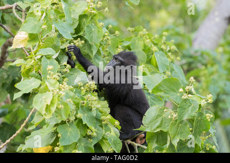 Celebes crested macaque or crested black macaque, Sulawesi crested macaque, or the black ape (Macaca nigra) young, Tangkoko National Park, Sulawesi, Celebes, Indonesia - Stock Photo