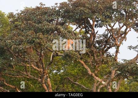Proboscis monkey or long-nosed monkey (Nasalis larvatus), Tanjung Puting National Park, Borneo, Indonesia - Stock Photo