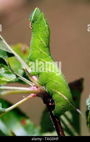 Eyed Hawkmoth (Smerinthus ocellata) caterpillar on apple tree, Brittany, France - Stock Photo