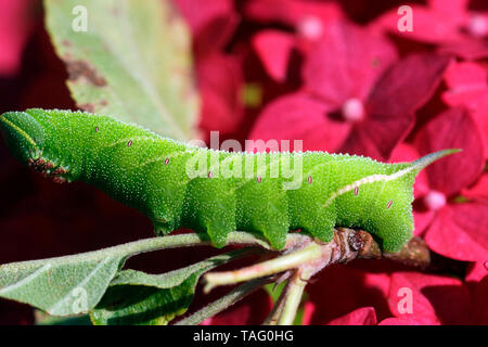 Eyed Hawkmoth (Smerinthus ocellata) caterpillar on apple tree, Brittany, France - Stock Photo