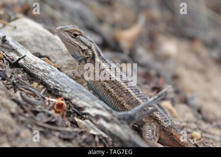 Plateau Fence Lizard - Stock Photo