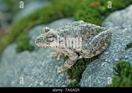 California Treefrog  Pseudacris cadaverina - Stock Photo