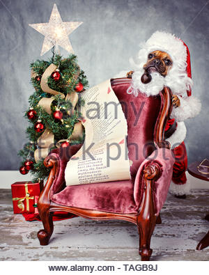 Red fawn french bulldog dressed in custom santa suit standing behind mini burgundy vintage velvet chair holding list next to small christmas tree. - Stock Photo