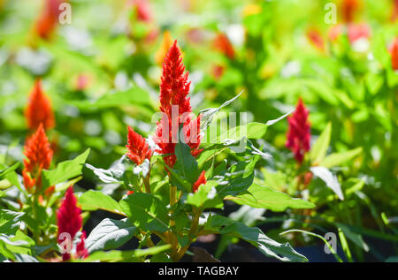 Colorful flower celosia argentea or plumed cockscomb blossom in the spring garden - Stock Photo