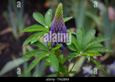 A large-leaved lupine plant at Schreiner's Iris Gardens in Salem, Oregon, USA. - Stock Photo