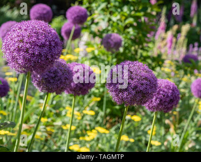 Beautiful blooming allium flowers at a botanical garden in Durham, North Carolina, in springtime - Stock Photo