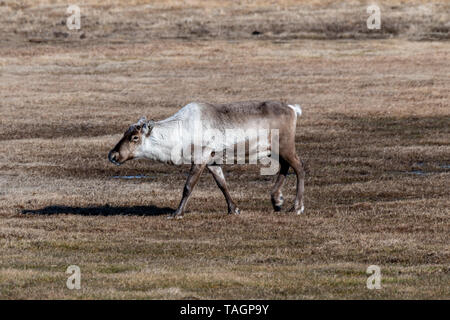 Free reindeer grazing in a meadow in the south east of Iceland. - Stock Photo