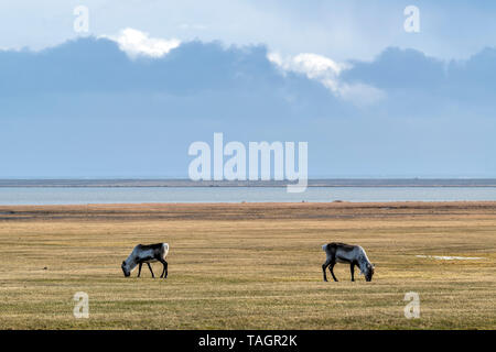 Two free reindeer grazing in a meadow in the south east of Iceland. - Stock Photo