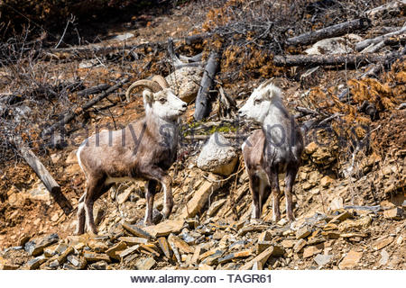 Two Stone Sheep, male and female, stand together near the border of British Columbia and the Yukon Territory of Canada. - Stock Photo