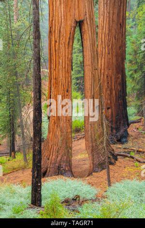 Clothspin tree, Redwood trees (Sequoiadendron giganteum), Mariposa grove, Yosemite NP, California, USA, by Bill Lea/Dembinsky Photo Assoc - Stock Photo