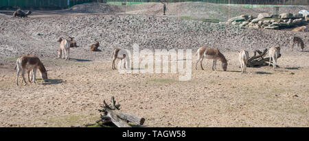 A few cute donkeys grazing on pasture with the grey and brown color of desert soil in the background - Stock Photo