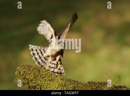 Eurasian Sparrowhawk (Accipiter nisus) landing on a mossy wooden log, Scotland, UK. - Stock Photo