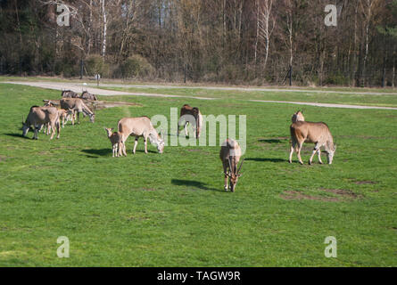 Eland antelopes grazing on green grass in the meadow in the park - Stock Photo