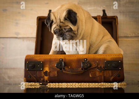 Travel holiday vacation concept with nice funny pug dog sit down inside an old vintage luggage - brown color tones and traveler lifestyle - wooden wal - Stock Photo