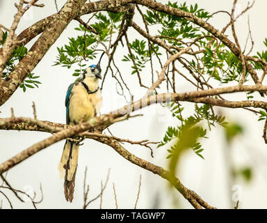 White-throated magpie-jay bird at Rincon de la Vieja National Park in Costa Rica - Stock Photo