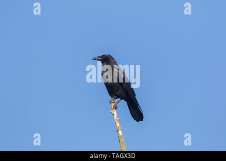 Carrion crow (Corvus corone) perched on branch in tree against blue sky - Stock Photo