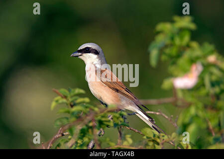 Red-backed shrike (Lanius collurio) male perched in tree / bush - Stock Photo