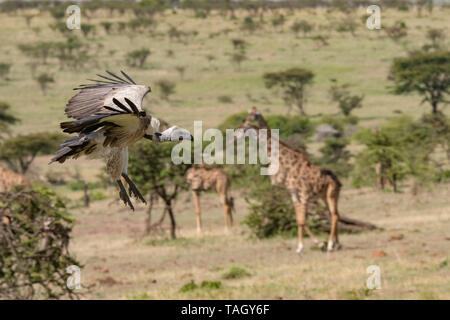 Vulture coming into land with giraffes in background - Stock Photo