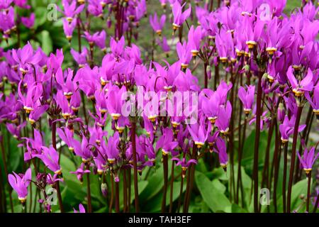Dodecatheon media saline shooting star flowers  lilac flowers on tall stems - Stock Photo