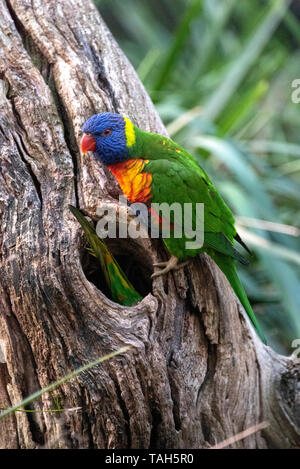 Rainbow Lorikeets preparing their nest, Australia - Stock Photo
