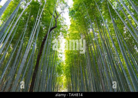 Arashiyama Bamboo Grove Zen garden, a natural forest of bamboo in Arashiyama, Kyoto, Japan