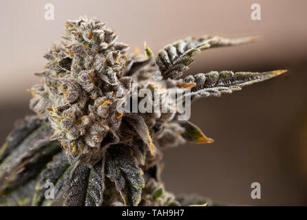 Nug Bud Marijuana Cannabis Concept Close Macro Detail Plant Trichome Red Hairs Green Leaf - Stock Photo