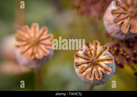 Poppy seed buds seen from above background from a field - Stock Photo