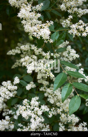 Ligustrum vulgare white inflorescence - Stock Photo