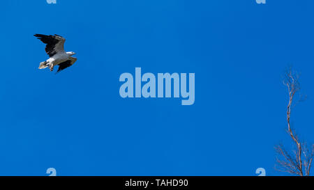 Sea-Eagle (Haliaeetus leucogaster) - Stock Photo