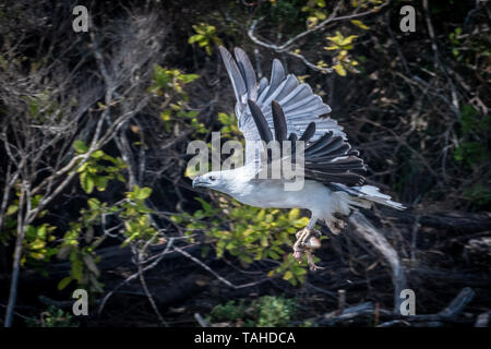 Sea-Eagle (Haliaeetus leucogaster), with Fish - Stock Photo