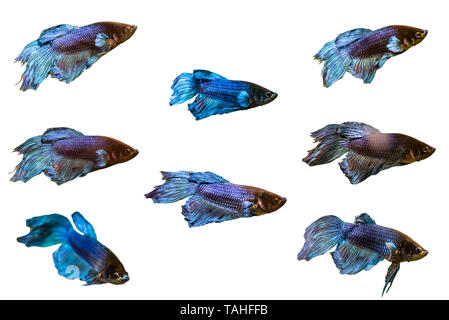 A set of several pictures of fishes of the genus fighter, isolated on a white background with a clipping path. - Stock Photo