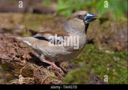 Female Hawfinch drinks water posing near a mossy pond in spring - Stock Photo