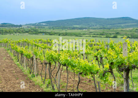 green vineyards countryside on summer day