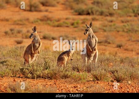 Red Giant Kangaroo (Macropus rufus), animal family with young, alert, Sturt National Park, New South Wales, Australia - Stock Photo